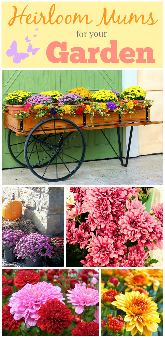 Heirloom Mums for Your Garden