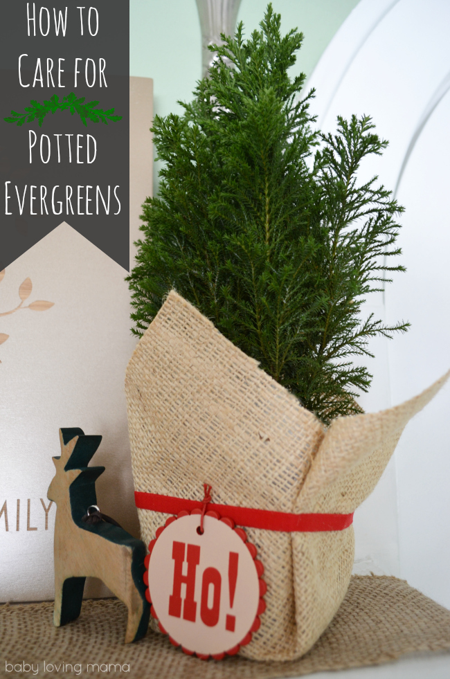 How to Care for Potted Evergreens
