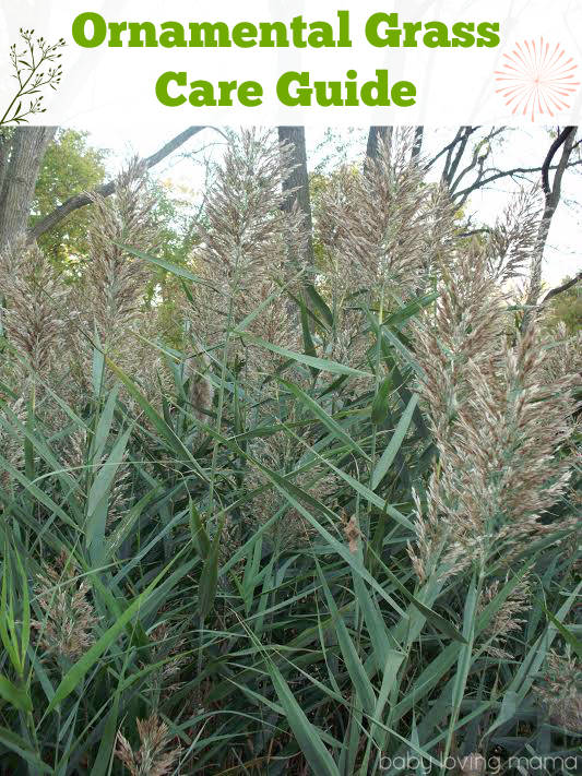 Ornamental Grass Care Guide