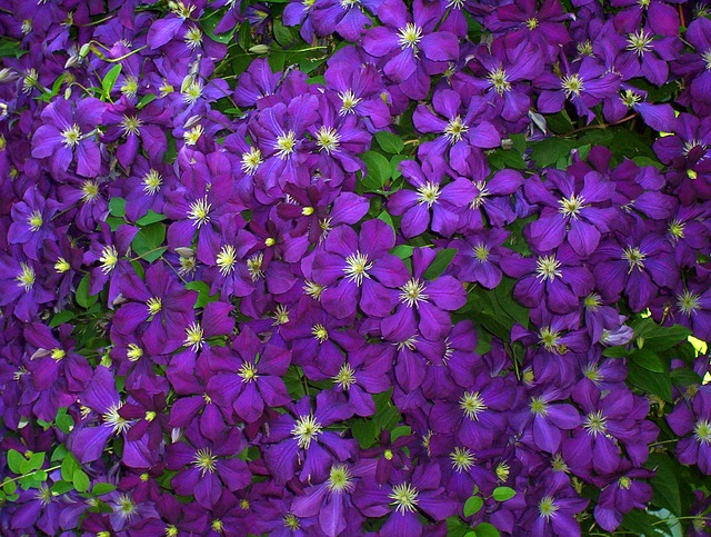 garden clematis purple flower