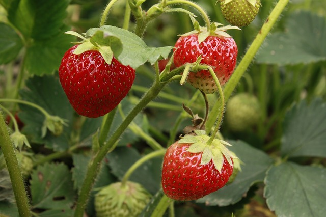 Strawberries hanging