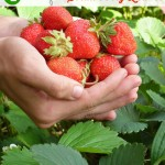 4 Uses for Strawberry Leaves